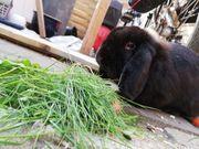 Schwarzer Widder Mix Kaninchen sucht