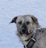 Timo, holl. Schäferhund