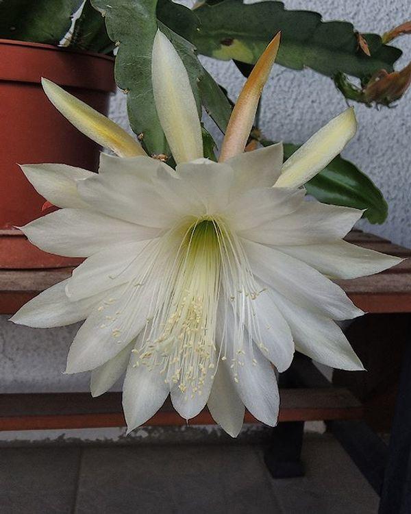 Kaktus Blattkaktus Epiphyllum Stecklinge