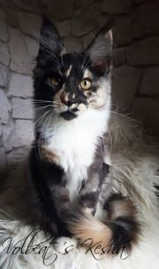 Traumhaftes Maine Coon