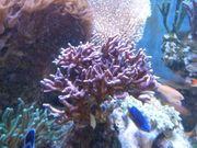 Koralle SPS Seriatopora Hystrix Gross