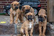Deutsche Dogge Doggen Mix Welpen