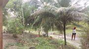 Brasilien Ananas Plantage