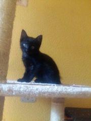 Maikatzen 11wochen alt