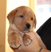 Labrador Welpen m P blond
