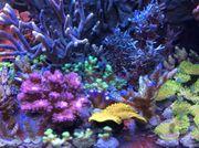 Korallen Korallenableger