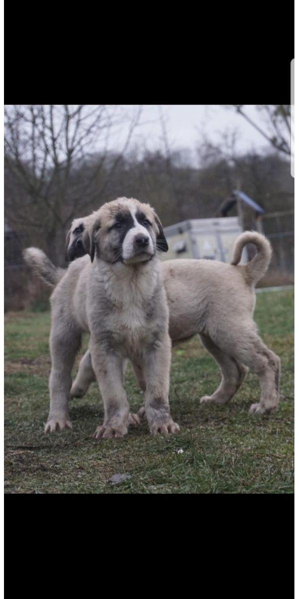 Anatolische Kangal Welpen Puppys ABGABEBEREIT