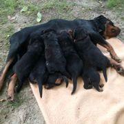 Reinrassige Rottweiler-Welpen