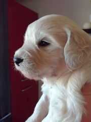 Traumhafte Goldendoodle Welpen