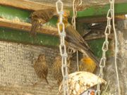 Mexikanische Karmingimpel Vogel zuchtreife und