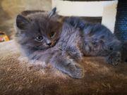 Ragdoll Perser Kitten