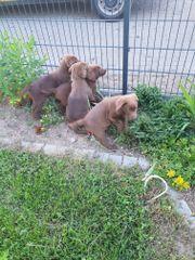 Labradorwelpen in silberbraun