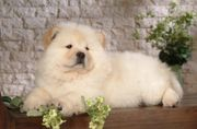 Traumhafte Chow Chow