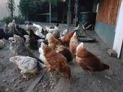 hühner zum verkaufen