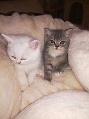Kätzchen babys ab