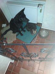 Schwarze Schäferhundin 17 Monaten mit