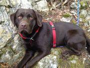 Labrador Deckrüde schoko