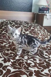 BHK Kitten Tabby