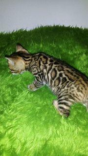 Bengal Kitten mit XXL dreifarbigen