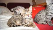 Savannah F5 Katze Kitten