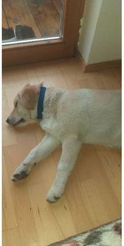 Labrador Retriever Welpen Weibchen
