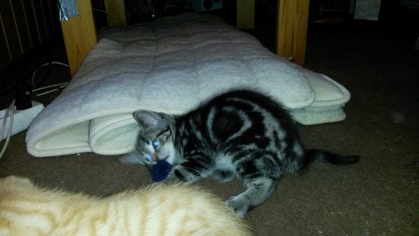 verkaufe Katze Baby » Katzen