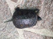 Europäische Sumpfschildkröten NZ 2017 bis
