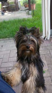 Yorker Terrier Rüde