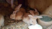 Kaninchen Deutsche Riesen in gelb