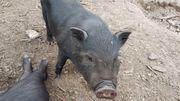 Minischwein-Ferkel
