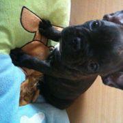 Französisch Bulldoggen