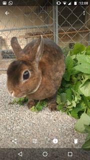 Zwergkaninchen Kaninchen geimpft Castor rex