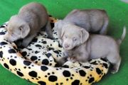 Labrador - Welpen