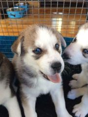 Siberian Husky Hunde Kaufen Verkaufen Auf Quokade