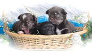3 reinrassige Chihuahua Welpen in