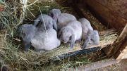 Kaninchen/Hasen Zwergwidder