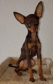 Reinrassiger Mini Toy-Terrier Welpe in