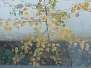 Baum Linde Lindenbaum Perfekte Planzzeit