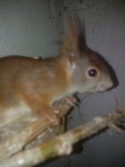 eichhörnchen mänchen zu