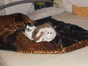 drei süsse kätzchen suchen ein