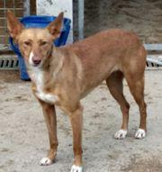 Aroa- Karamellbonbonfarbenes Hundemädchen
