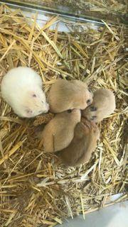 Hamster Eigenzucht 15EUR