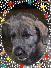 irisher wolfshund