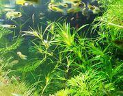 Guadeloupe Nixkraut, Aquariumpflanzen, (