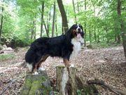 Berner Sennenhund Deckrüde Amadeus vom