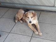 Beagle-Mix Rüde Dino auf Heimatsuche