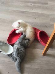 Süße Perser Kitten mit Nase