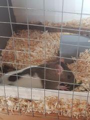 6 Ratten