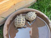 Testudo horsfieldii Steppenschildkröten