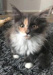Hübsches Maine Coon Kitten zu